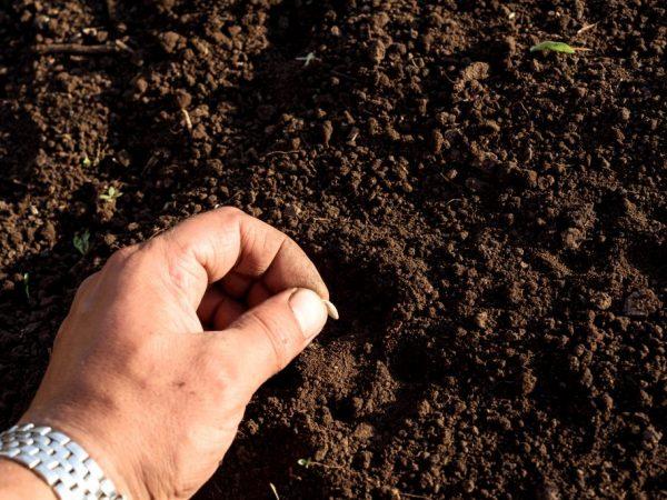 Правила летнего посева огурцов