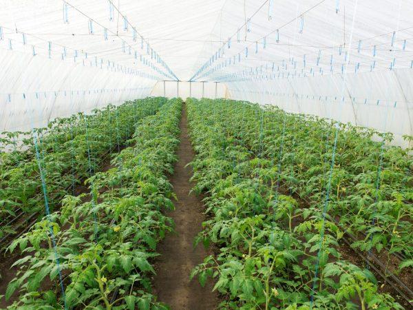 Принцип посадки томатов в теплице