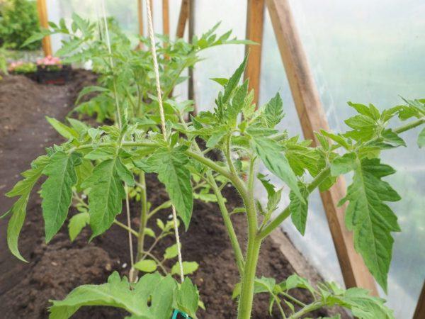Схема посадки зависит от сорта томата