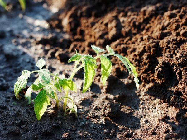 Почву для высаживания нужно подготовить