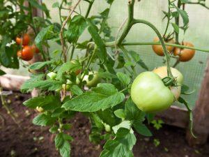 Прививка помидоров