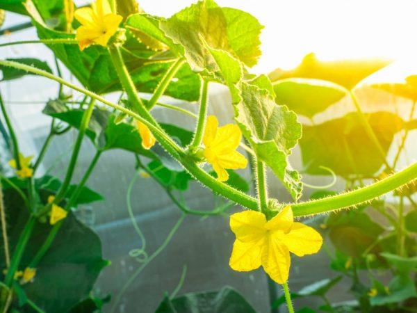 Можно сократить количество пустоцветов
