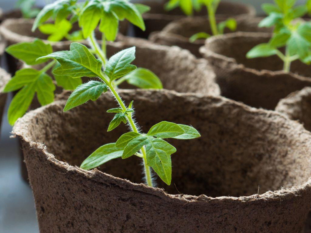 Когда сеять рассаду помидор для теплицы