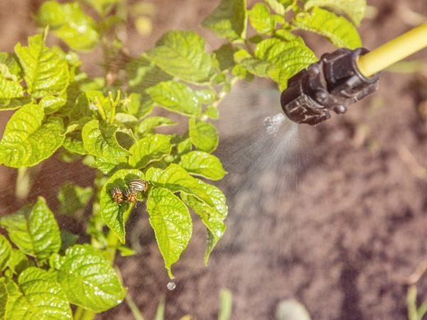 Применение регента от колорадского жука