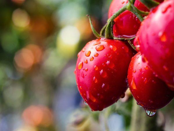 Сорт томатов Розовый сон f1