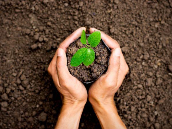 Для посадки выбирайте саженцы 1-2 лет, дерево должно быть прочным, с развитыми корнями.