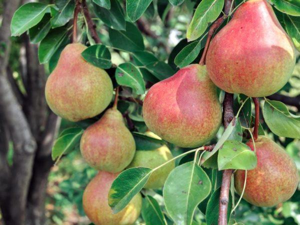 Плоды хороши для переработки