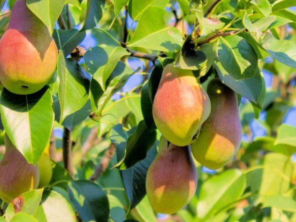 Плоды гладкие, крупные, вес составляет 200-250г
