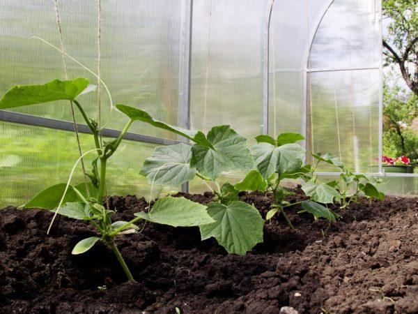 Высаживать огурчики в теплицу можно в мае