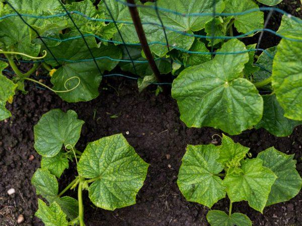 Как провести подготовку почвы под огурцы перед посадкой