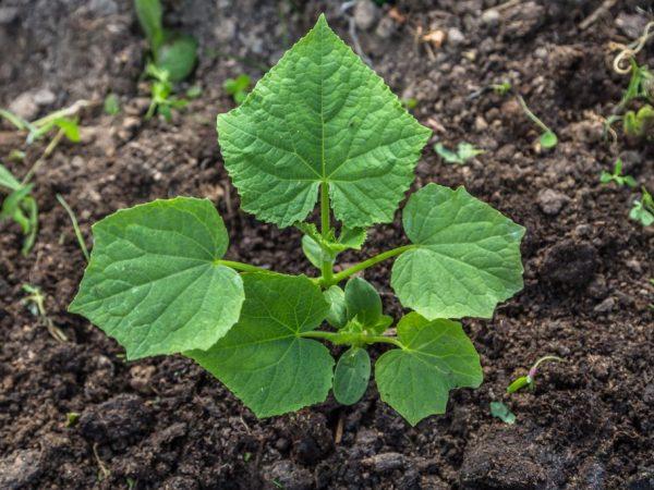 Хороший уход за растением способствует получению вкусного урожая