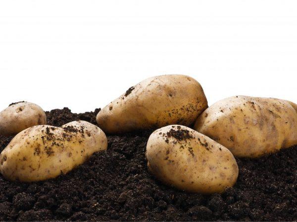 Описание сортов картофеля для Черноземья