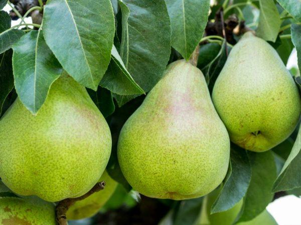Плоды долго хранятся