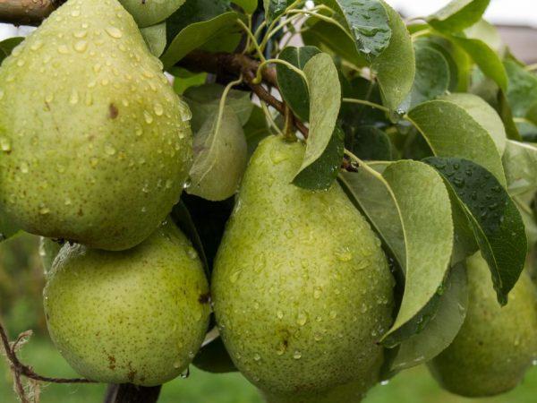 Плоды обладают приятным ароматом