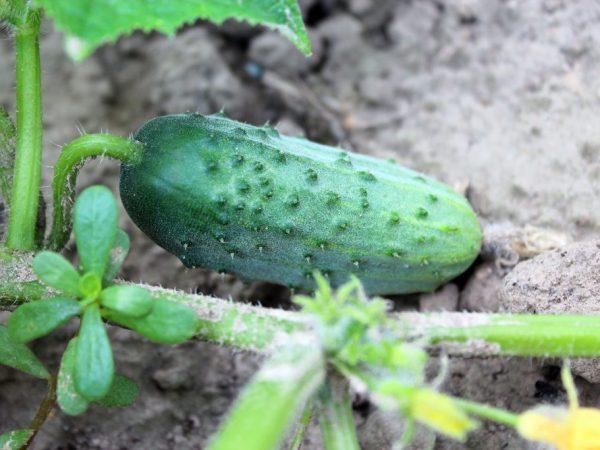 Куст хорошо растёт на любой почве