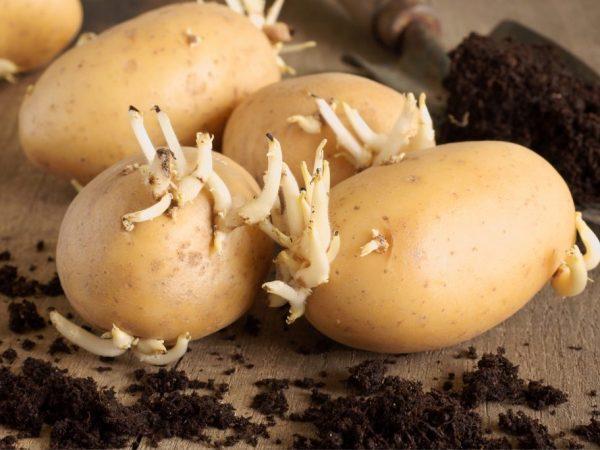 Семенной картофель и его разновидности