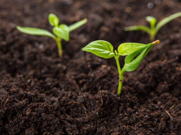 Высаживаем рассаду в теплицу