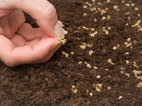 Семена перед посадкой нужно подготовить