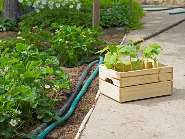 Посадка огурцов рядом с другими овощами