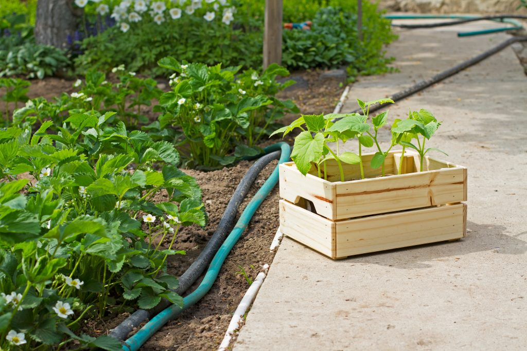 Что можно сажать рядом с огурцами в открытом грунте. Совместимость овощей