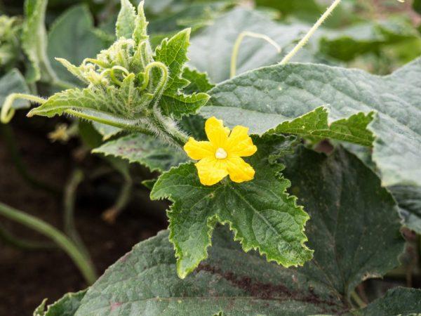 Растение требует внимательного отношения