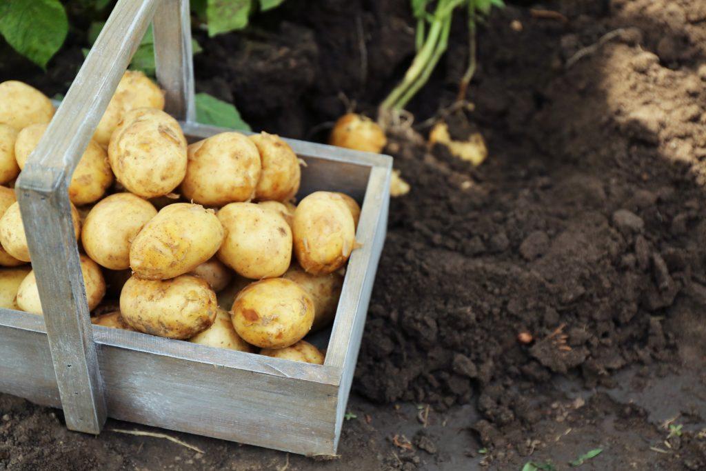 как начинает расти картошка фото самых инновационных них