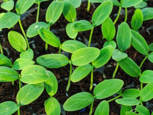 Рассаду высаживают в прогретый грунт