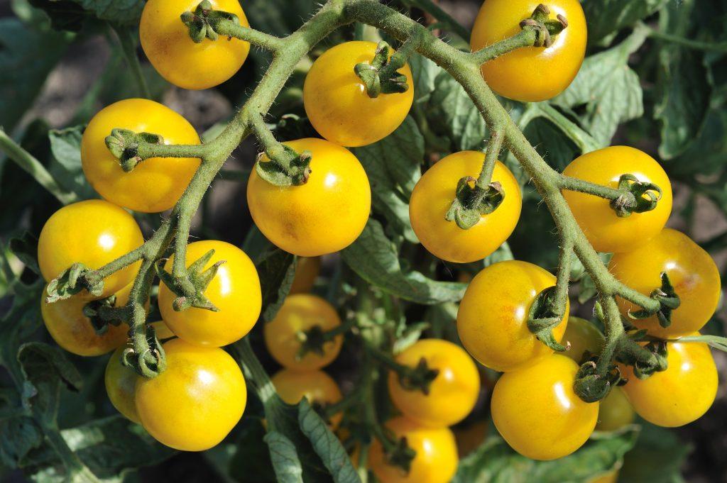 Урожайность томатов сразу повысится