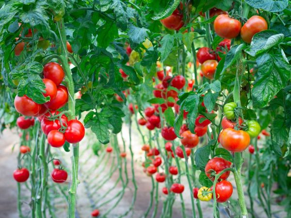Выбор высокоурожайных сортов велик