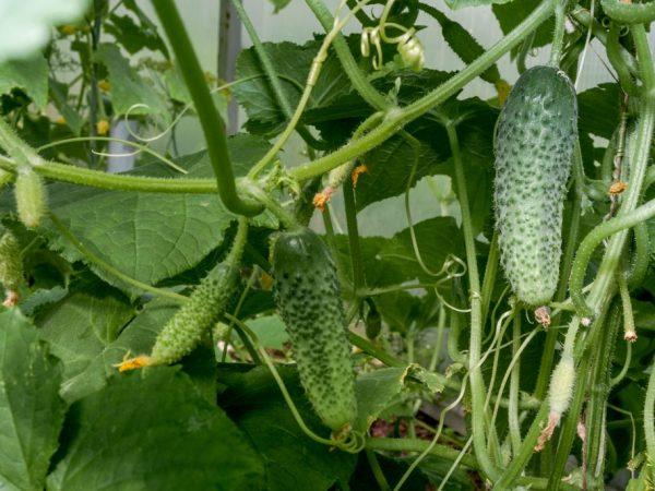 Показатели урожайности огурцов в теплице