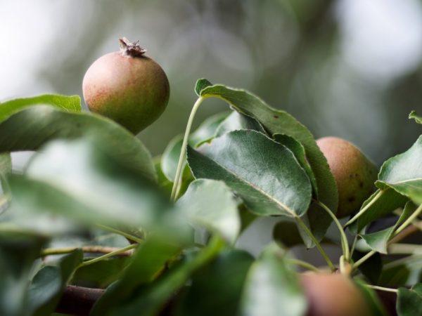 Характеристика груши сорта Уссурийская