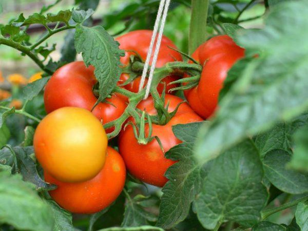 Сорт томата верлиока