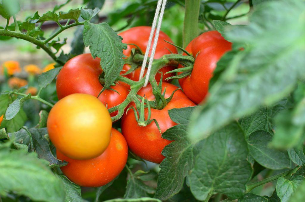 Подробное описание и характеристики томата сорта Верлиока