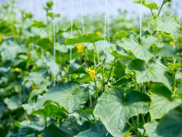 Растению необходим регулярный полив