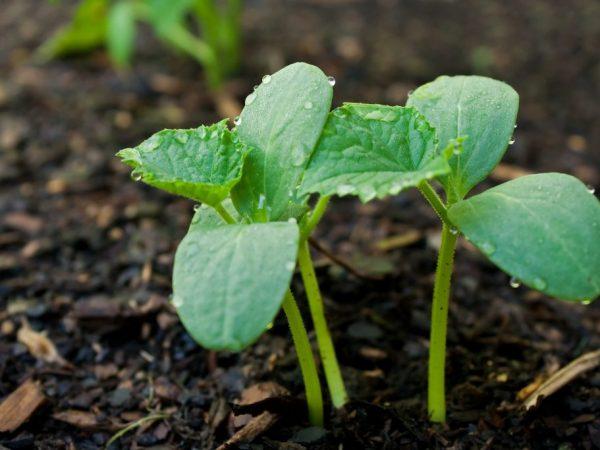 Высаживать можно только рассаду с тремя настоящими листочками