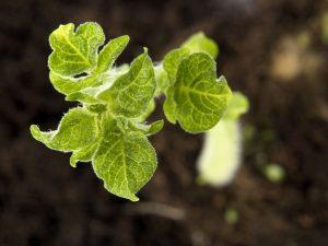 Способы выращивания картофеля из семян