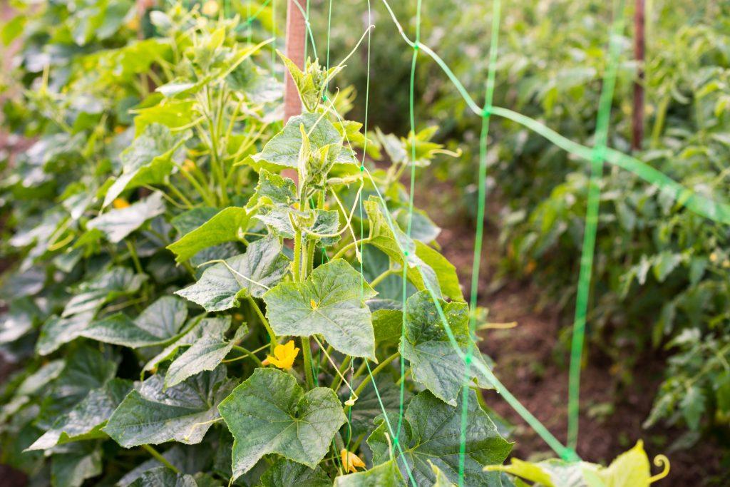 Скабиоза фото выращивание и уход в открытом вспомогательное