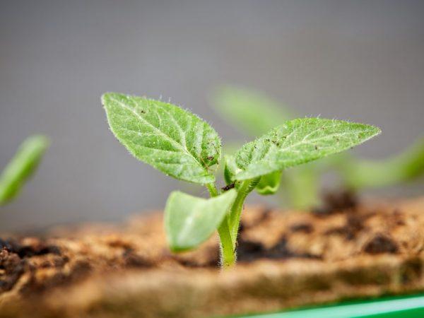Выращивание рассады томатов по методу Ганичкиной