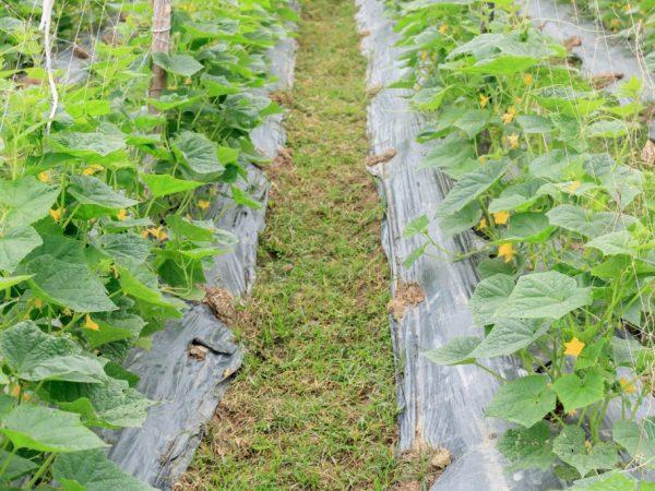Правила выращивания огурцов под спанбондом