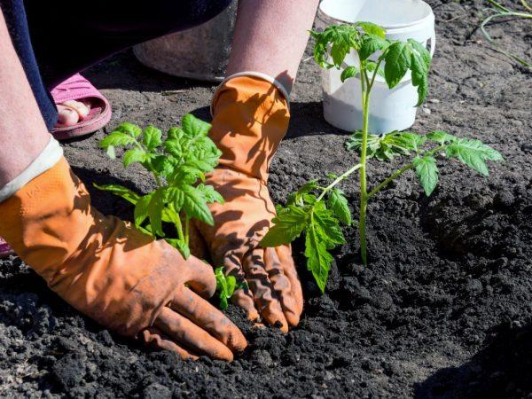 Правила высадки рассады помидоров в открытый грунт
