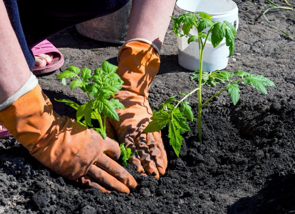 Как высаживать рассаду помидор в грунт