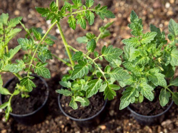 Закаливание рассады помидоров