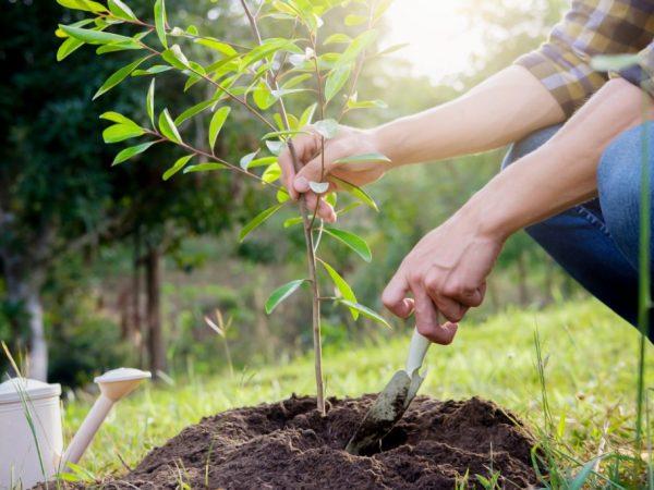 Для хорошего урожая нужно тщательно ухаживать за грушей Форель