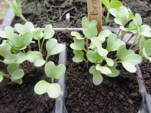 Как вырастить капусту брокколи. Через две недели рассаду можно пикировать