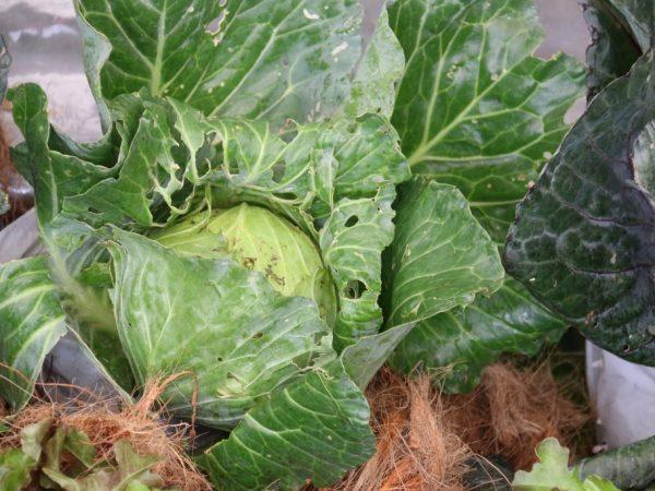 Вредители едят не удобренную капусту