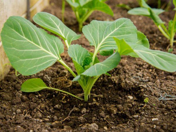 Суперфосфат насыщает растения полезными веществами