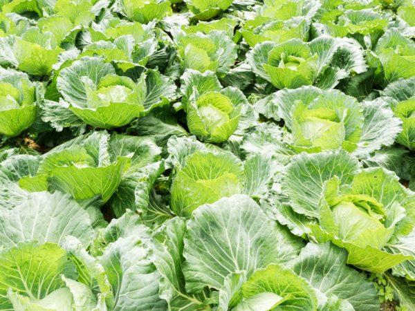 Подкормка увеличит урожайность растений