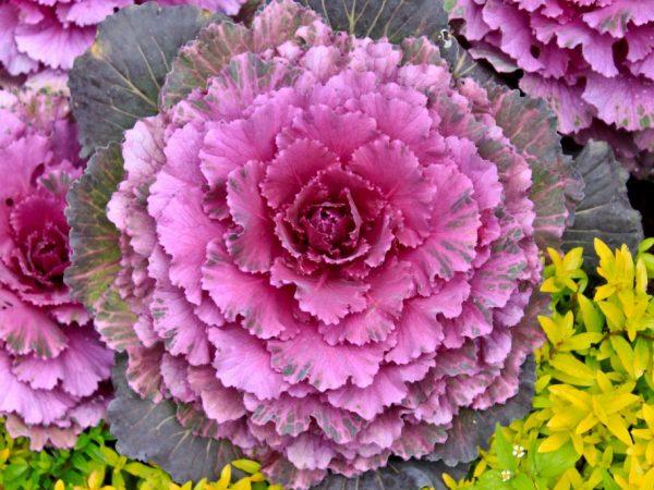 Технология выращивания декоративной капусты