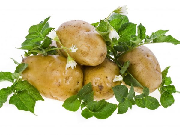 Лучшие сорта картофеля для Северо-Западного региона