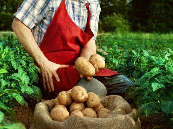 Сорта картофеля для Ленинградской области